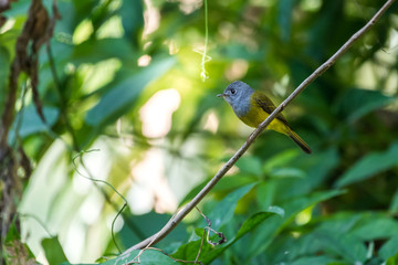 Grey-headed Canary-flycatcher perched on a tree in the forest at Ramkhamhaeng National Park, Sukhothai, Thailand.