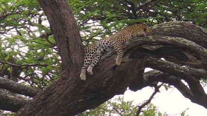 Stock Video of Leopard on a tree feeding with its prey in