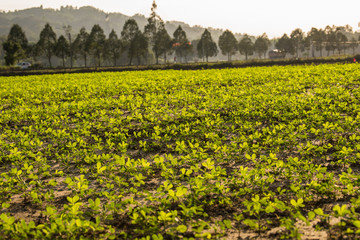 Peanut plants in the late afternoon sun with trees in the background