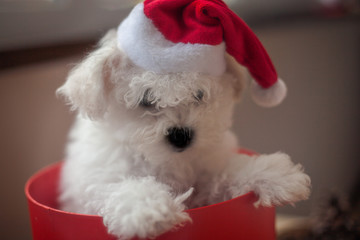 little white puppy bichon frise