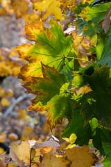 Door stickers Vineyard Colorful maple leaves.