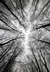 Leafless Winter Trees. Black and White Picture. View From Below in to the Leafless Tree Crowns. Winter Landscape Without People. Foggy and Cloudy Weather. Black Trees From Worm's Eye View.