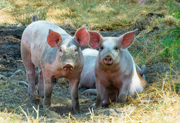 two pigs in farm outdoors