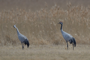 Common Cranes, on the field, in spring migration