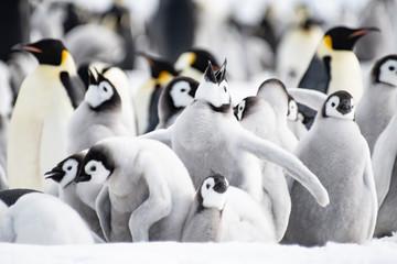 Emperor Penguins chicks on ice in Antarctica