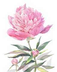 Hand painted watercolor art illustration. Pink peony.
