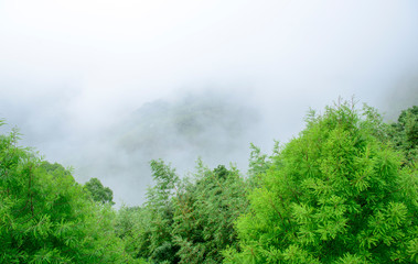 Tops of tall green trees in the fog