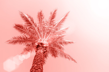 Perfect palm trees against a beautiful sky. Coral color background.