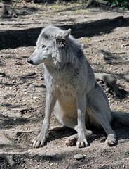 Polar wolf. Latin name - Canis lupus arctos
