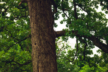 closeup of large oak tree in a forest