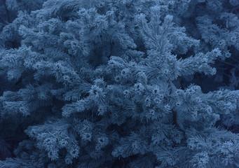 Frozen snowy evergreen pine branches foggy background