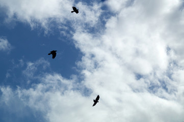 Looking up at three black crows flying and circling in the afternoon sky silhouetted against clouds.
