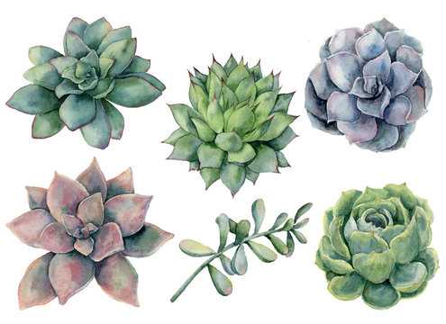 Watercolor succulents set. Hand painted green, violet, pink cacti isolated on white background.  Botanical illustration for design, print. Green plants