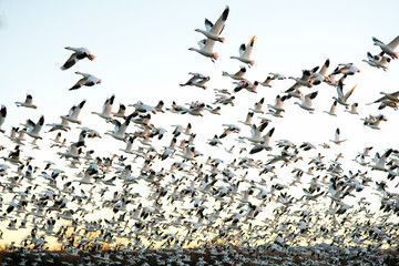 Snow Geese at Bosque Del Apache National Wildlife Refuge Wall mural