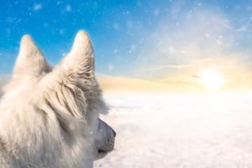 Dogtrekking in winter, white shepherd looking into the sunset