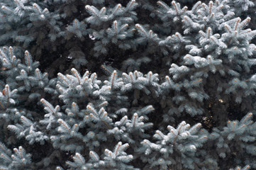 Snow lies on the branches of the Christmas tree