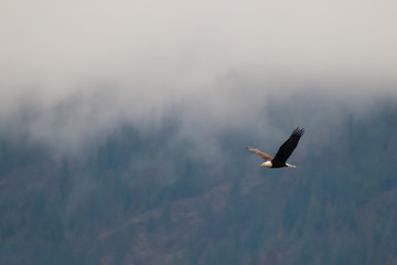 Poster Eagle Bald eagle soars along a hillside during a cloudy and foggy/misty day in coeur d'alene idaho