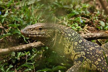 Lizard colorful large. Reptile African savannah. Wild World.