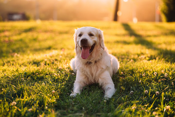 Happy golden retriever outdoors