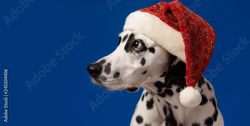 71d53602eb907 Dalmatian dog portrait wearing Santa hat looking to the left ...