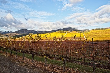 Beautiful autumn colors at the vineyards in Sonoma County on cloudy day after the rain