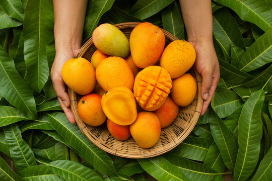 Hand of farmer carrying mango fruit in wooden basket putting on tropical green leaf background
