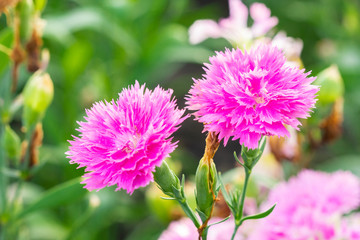 Pink Dianthus Chinensis Flowers in the garden.