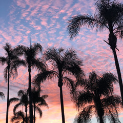 Tropical pink sunset over Palm Trees in San Diego, California