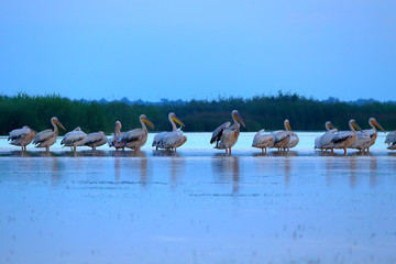 A flock of sleeping Great White Pelicans (Pelecanus onocrotalus) in the water at early morning in the Danube Delta, Ukraine, preparing for breakfastresting. Sleepy pelicans in the early morning