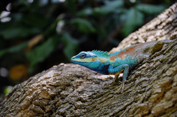 Blue chameleon on tree