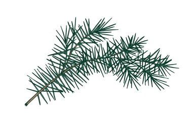 Elegant detailed botanical drawing of fir branch with needle-like foliage. Evergreen coniferous tree sprig hand drawn on white background. Realistic natural vector illustration in vintage style.