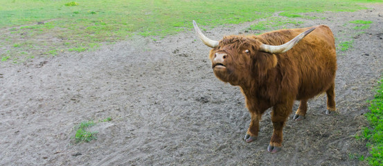 funny highland cow squinting its eyes, animal making a funny face