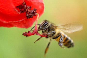 bee hovering near red flower