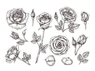 Hand drawn roses. Sketch rose flowers with thorns and leaves. Black and white vintage etching vector botanical isolated set. Illustration of rose petal, sketch botany floral plant