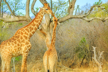 Mom giraffe with calf in Madikwe Game Reserve, South Africa. Two giraffes stretching high for eating from a dry tree.