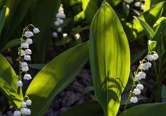 Tuinposter Lelietje van dalen Sunlit flower of the lily of the valley. Selective focus.