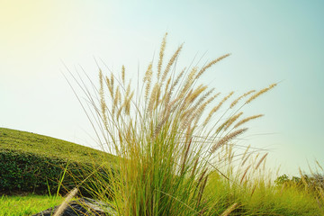 grass flower in the golden light in sunrise, Beautiful grass flower with sunlight, Naturally beautiful flowers in the garden.