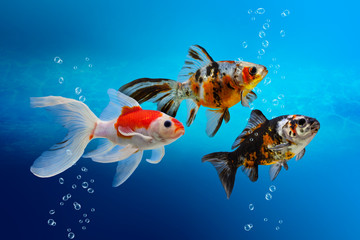 Fish tank with colorful decorative fish, aquarium with carassius gibelio forma auratus, goldfish on blue background, water texture with bubbles