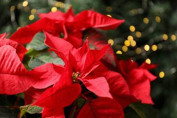 Beautiful poinsettia on blurred background. Traditional Christmas flower