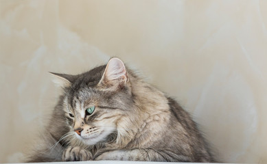 Purebred silver siberian cat outdoor, long haired hypoallergenic animal