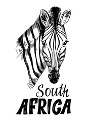 Sketch of zebra. Hand drawn illustration converted to vector
