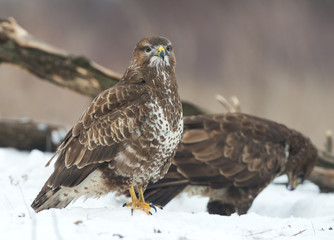 Common Buzzards (Buteo buteo)