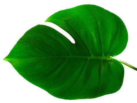 monstera green leaf