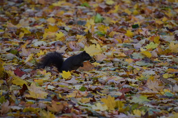 Black Squirrel Autumn Canada