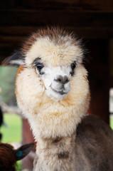 Cute alpaca face with smile