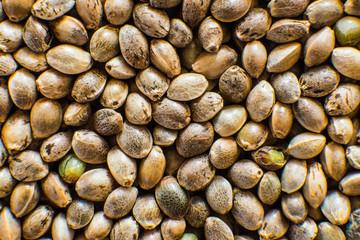 Many Cannabis seeds. Organic Hemp seed. Top view. Hemp seeds background in macro. Macro detail of marijuana seed.