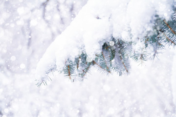 Winter background with snowy fir tree branch.  Winter forest with falling snow