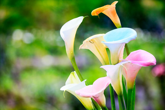 beautiful Colorful Calla Lilies with nice background color