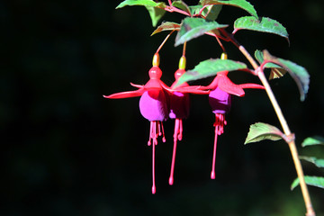 lady's eardrops, red and purple fuchsia magellanica flower