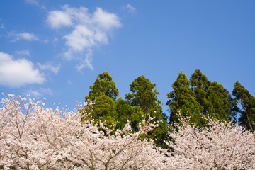 Japanese cherry blossoms and cedars